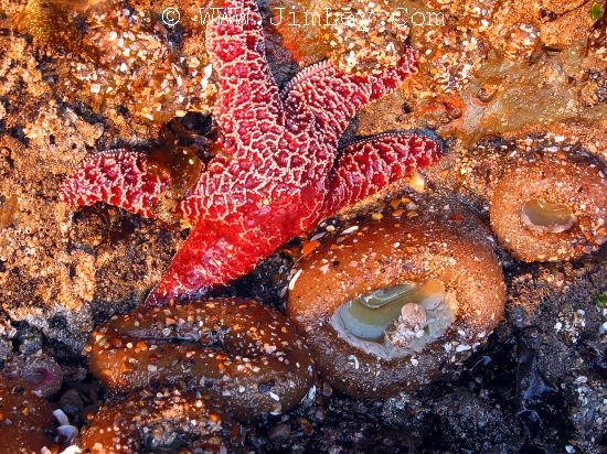 SEA ANEMONE and Red Sea Star