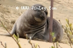 Elephant Seal  177 Thumbnail Ano_Nuevo_0994_Crop_Levels_UnS_Fade_L_4x6