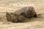 Elephant Seal 179  Thumbnail  Ano_Nuevo_1023_Crop_Levels_UnS_Fade_L_4x6