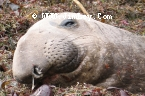 Elephant Seal 42 Thumbnail Ano_Nuevo_0256_Crop_UnS_4x6