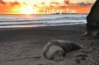 Elephant Seal 48 Thumbnail Ano_Nuevo_0379_Crop_Contrast_S_M_UnS_4x6