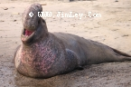 Elephant Seal 105  Thumbnail Ano_Nuevo_1210_Crop_Contrast_UnS_4x6