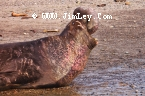 Elephant Seal  106 Thumbnail Ano_Nuevo_1214_Crop_V_Contrast_UnS_4x6