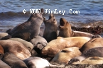 Elephant Seal 110 Thumbnail Ano_Nuevo_1294_Crop_V_Levels_Contrast_UnS_4x6