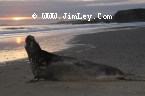 Elephant Seal 115  Thumbnail  Ano_Nuevo_0762_Crop_UnS_Fade_L_4x6