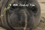 Elephant Seal  116 Thumbnail Ano_Nuevo_1014_Crop_UnS_Fade_L_4x6