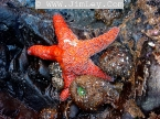 Tidal Zone Sea Star and SEA ANEMONE